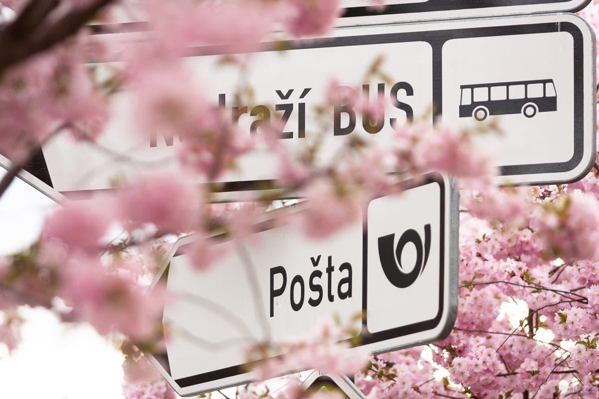 V Českém ráji kvetou sakury, barevná fotosezóna začíná